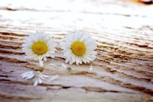 daisy-flowers-wildflowers-wood,Pexels, original