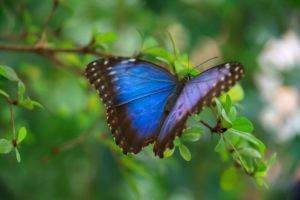 Blue Morpho-Schmetterling, CCO-Public-Domain-Lizenz, Vera Kratchovil, Public Domain Pictures, bearbeitet, 1028 breit