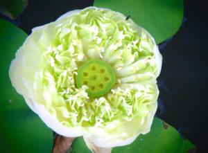 Lotus, nah, bearbeitet