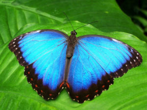 butterfly-blue-insect-blue-morphofalter-66268 , Pexels, 400