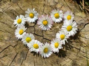 daisy-heart-flowers-flower-heart, 400