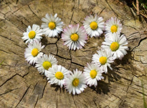 daisy-heart-flowers-flower-heart, 500